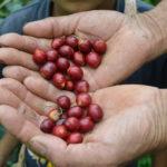 Productos orgánicos como el café, el fique, la guadua y el platano entre otros.